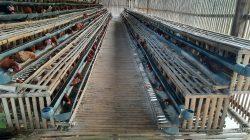 Harga Telur Ayam Anjlok Karena Pasokan Melimpah
